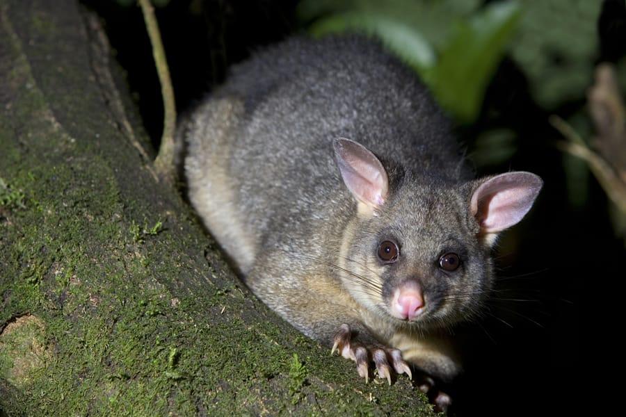 Possum Removal Melbourne Amp Adelaide