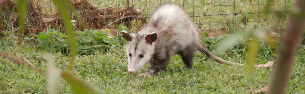 Possum Removal Melbourne Amp Adelaide Quotes Peter The Possum Man