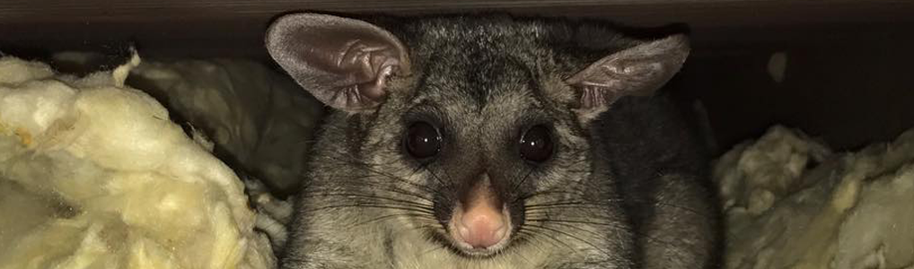peter the possum