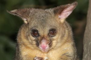 Possum removal, Pest control - Peter the Possum Man Adelaide